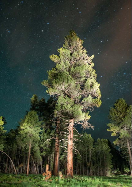 Ponderosa pines are common in Arizona forests within SRP's watershed.
